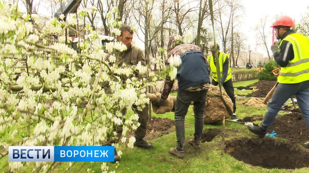 В воронежском сквере высадили деревья по проекту дизайнера из Великобритании