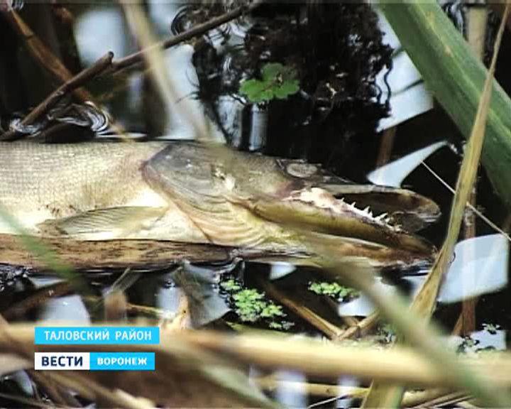 Экологи выясняют причины массовой гибели рыбы в реке Сухая Чигла в Таловском районе