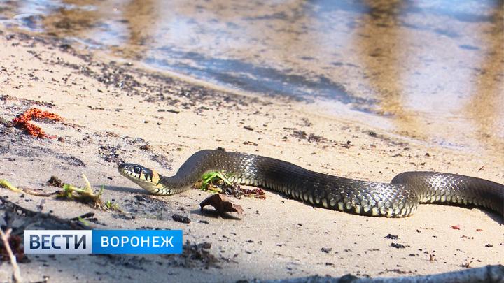 В лесах Воронежской области из спячки вышли змеи