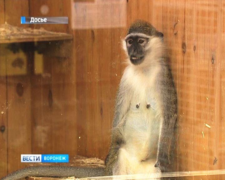Мужчина, похитивший зелёную мартышку из Воронежского зоопарка, отделался штрафом