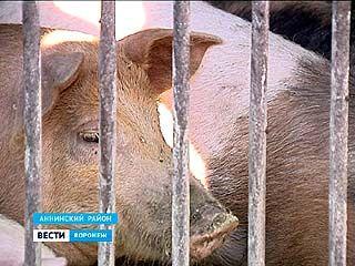 АЧС вернулась в регион. В Аннинском районе уже избавляются от животных