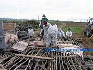 Африканская чума наступает: Воронежская область в зоне риска