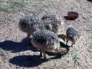 Африканская жара пошла на пользу воронежским страусам