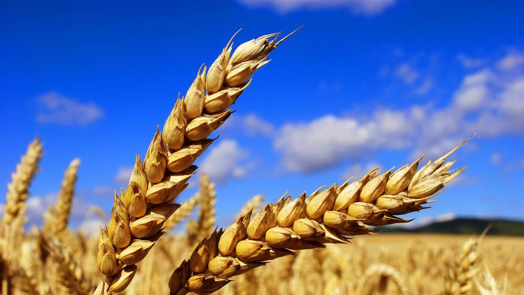 Воронежская область может стать главной в стране в сфере селекции и семеноводства