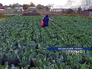 Богатый урожай капусты разорил лискинских овощеводов