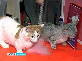 Британцы в городе. 22 породы кошек на выставке в столице Черноземья