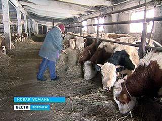 """""""Буренки"""" Новой Усмани получают полноценное питание"""