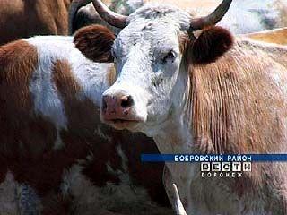 Бутурлиновский и Бобровский районы не поделили стадо коров