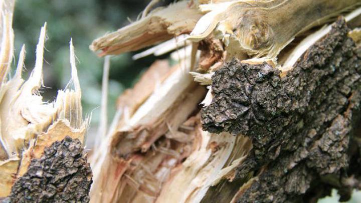 ВВоронеже наулице Маршака дерево упало намаму с 3-х летним сыном