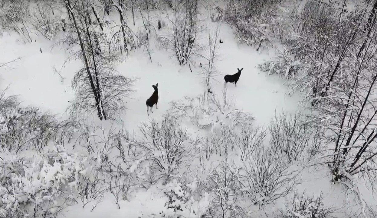 Роскошная зимняя природа, лоси и птицы – воронежцы сняли эффектное видео