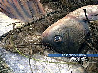 Численность рыбы в Дону может сократиться