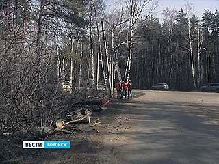 Десяток сосен повалил ураган в Воронеже