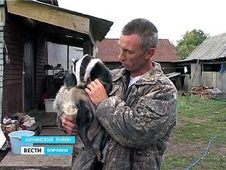 Егерь из Аннинского района приютил барсука - теперь животное отказывается идти на волю