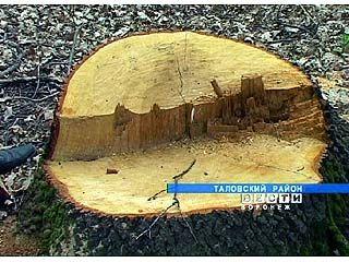 Элитные дубы вырубают в Таловском районе