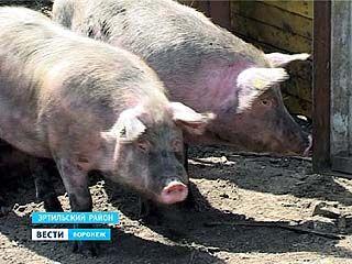 Эртильцам придётся ликвидировать поголовье свиней