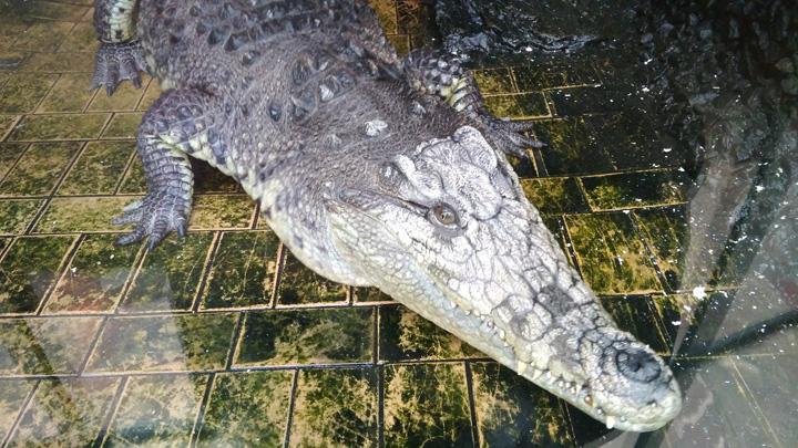 Взявшая под опеку крокодила жительница Воронежа: «Мечтала об этом с 16 лет»