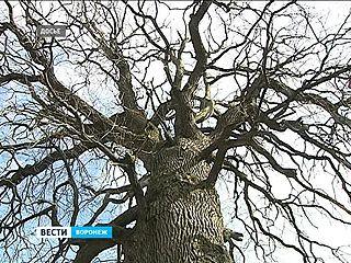 Горожане определили дерево-символ Воронежского края