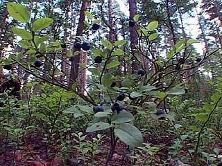 Ходить по ягоды в биосферный заповедник теперь запрещено всем