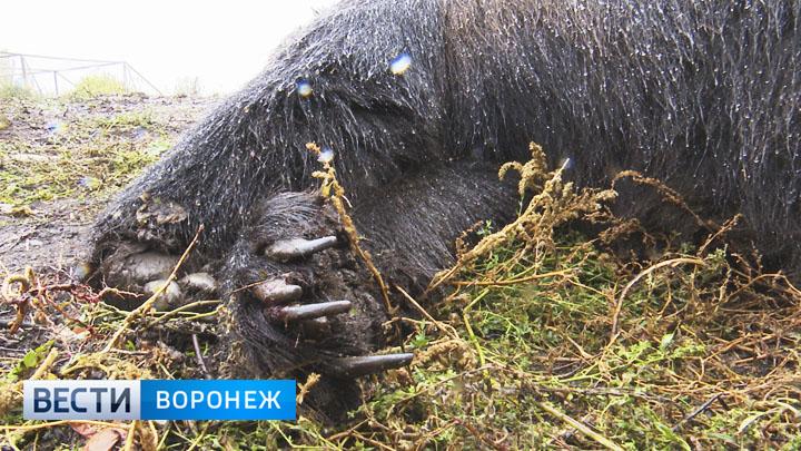Жители Семилук рассказали, что медведь уже пытался сбежать из вольера из-за голода
