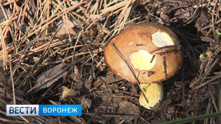 Осенний бум. Воронежцам рассказали, как отличить съедобный гриб от ядовитого