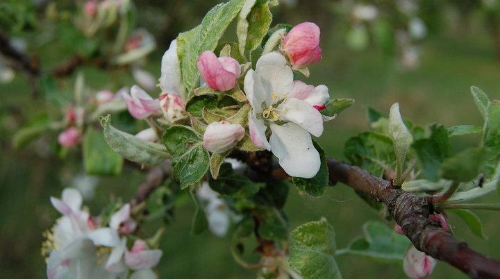 Семь компаний заявили о желании застроить участок воронежского яблоневого сада