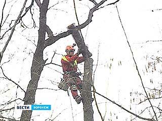 Искусством арбористов любовались в пригороде Воронежа экологи и случайные прохожие
