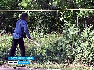 Калачеевский район - абсолютный чемпион области по заражению амброзией