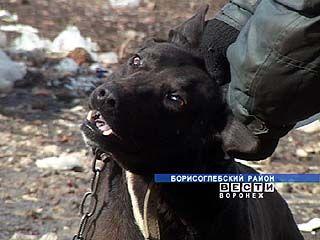 Карантин по бешенству объявлен в одном из сел Борисоглебского района