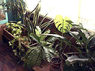 Комнатные растения нуждаются в помощи