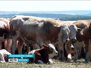 Коров с уже привитыми традициями придворного этикета разводят в Калаче