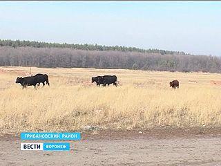 """Коровы по цене """"Жигулей"""" разбежались по Грибановскому району"""