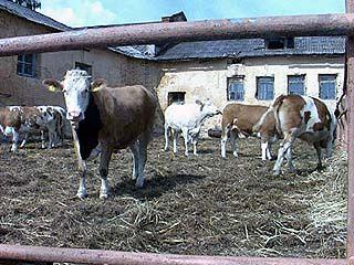 Кражи скота - самый распространенный вид преступления в области