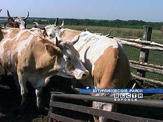 Крупный рогатый скот держать не выгодно, хозяйство в Красном распускают