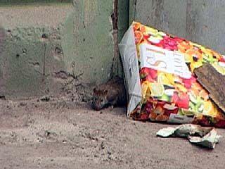 Крысы атакуют Воронеж