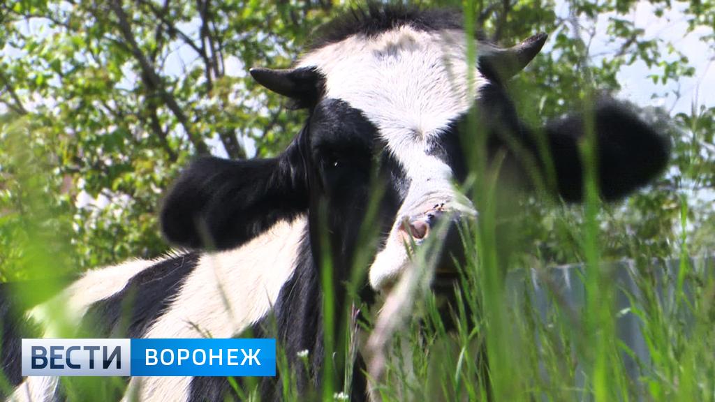 Вспышка бруцеллёза в Воронежской области – зафиксирован случай заражения человека