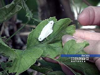 Лиски атакует американская белая бабочка