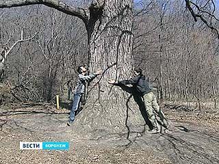 Между посёлком Рыбачье и Белой горой растет уникальный дуб