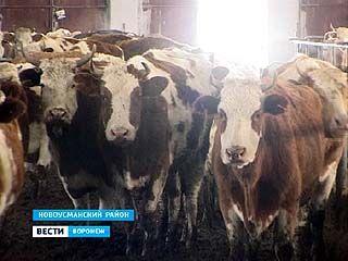 На одной из ферм в Новой Усмани уже несколько дней не кормят животных