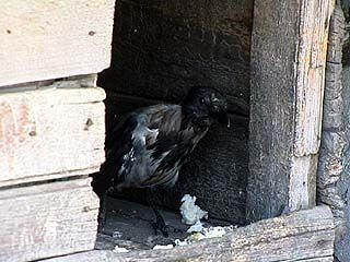 На охране в одном из воронежских гаражных кооперативов состоит ворона