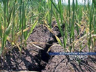 На полях Воронежской области сложилась критическая ситуация
