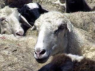 На посту ДПС в Богучаре задержаны фургоны с животными