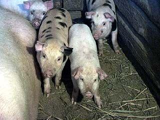 На территории области приостановлена работа 8 крупных свиноводческих ферм