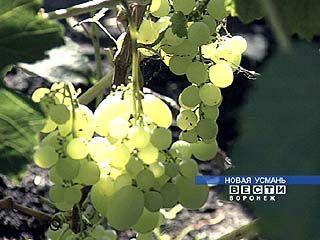 На воронежской земле вызревают даже южные сорта винограда