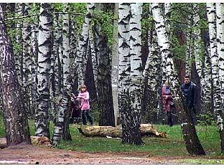 На юге Воронежской области березы теряют листья