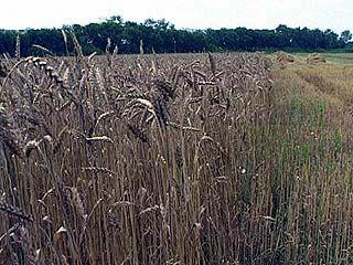 На юге Воронежской области готовы начать жатву