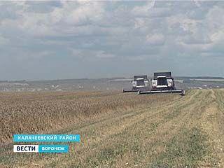 На юге Воронежской области начали собирать урожай зерновых