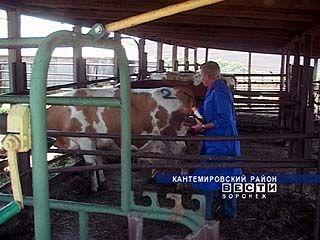 Несколько хозяйств Кантемировского района терпят убытки