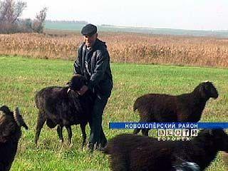 Новохоперские фермеры занялись овцеводством