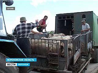 Новый очаг африканской чумы свиней обнаружен в Калачеевском районе