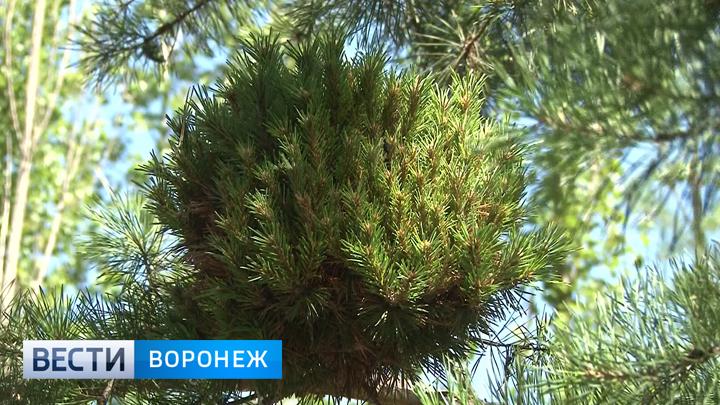 «Ведьмины мётлы» обнаружили в лесу жители Калачеевского района
